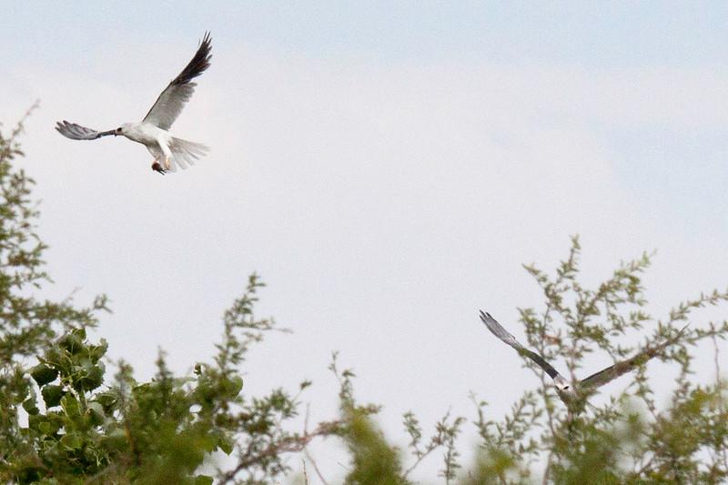 IMG_3164 3T White-tailed Kites Rio Bosque.jpg