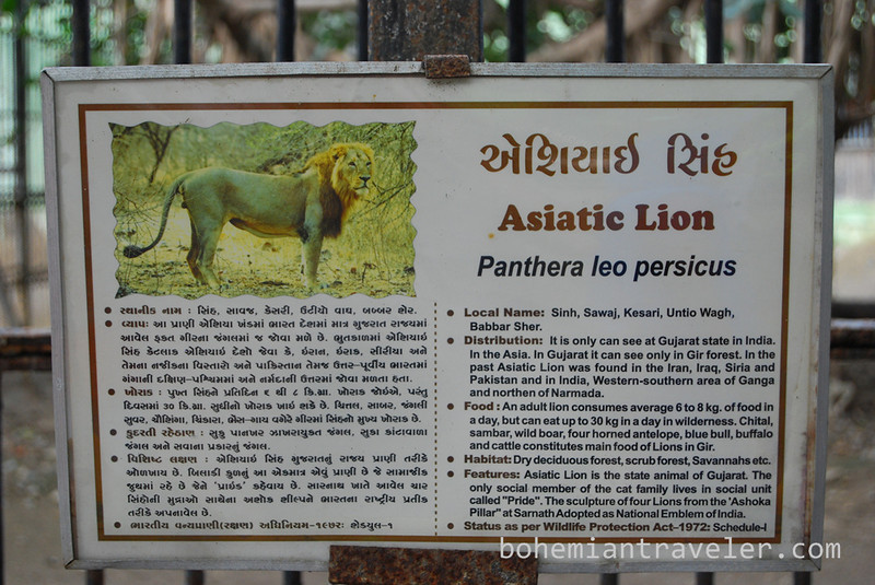 Asiatic lion specs.jpg