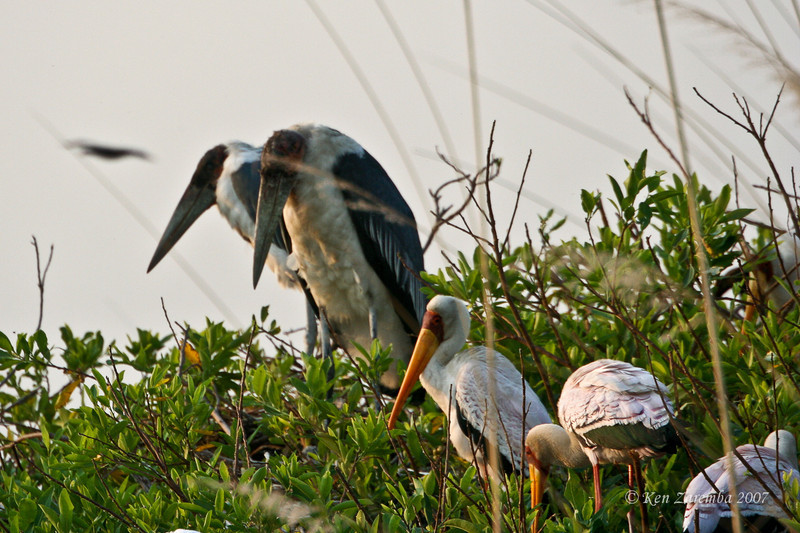 Marabou Stork and Yellow-billed Stork, Moremi Game Reserve, Okavango Delta, Botswana