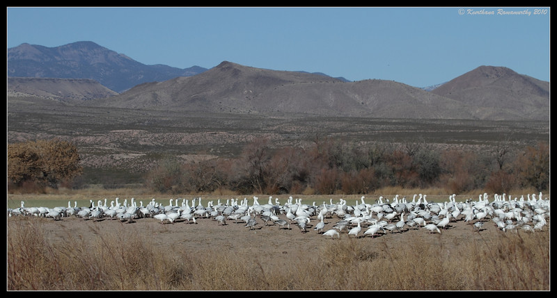 Snow Geese, Bosque Del Apache, Socorro, New Mexico, November 2010