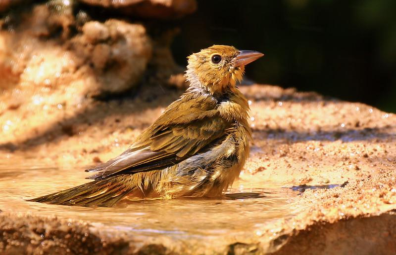 Bird bathing New Mexico July 2015 607.jpg