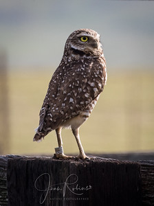 Burrowing Owls on Cottonwood Rd in Chico