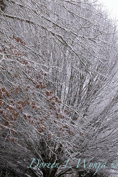 Quercus palustris pin oak - Carpinus betulus 'Fastigiata' with snow_4259.jpg