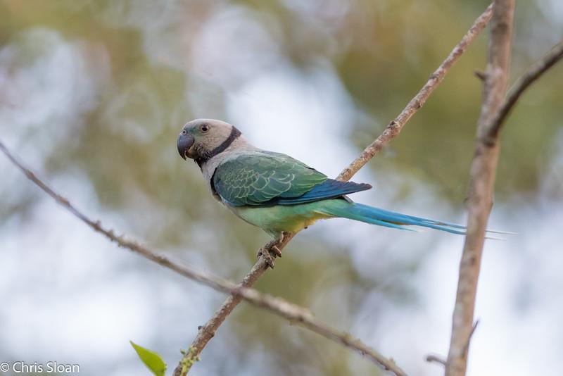 Malabar Parakeet, Jungle Hut, Masanagudi, Mudumulai,  India (02-26-2015) 059-15-Edit.jpg