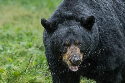 32683 Black bears