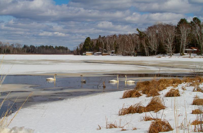 Trumpeter Swan Stone Lake Sax-Zim Bog MN  IMG_2814.jpg