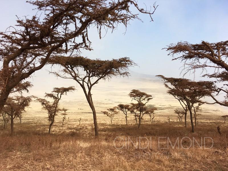 "2 ""Acacia Trees"" IMG_3815.jpeg"