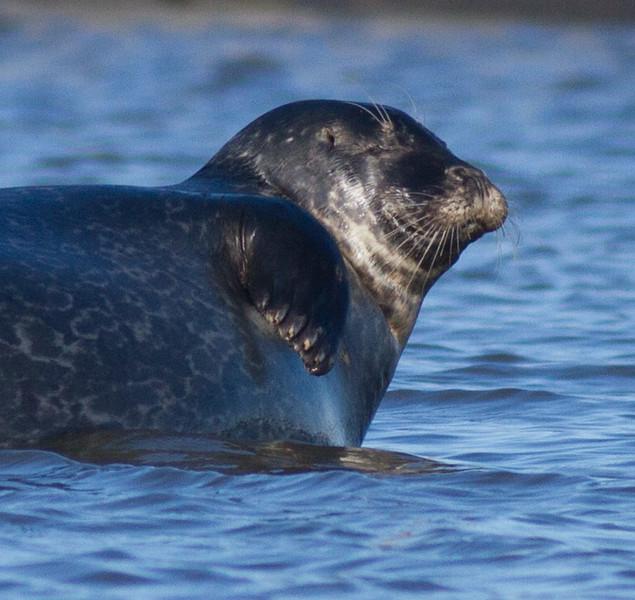 Harbor Seal Cape Merry Hudson Bay Churchill Manitoba Canada IMG_0580.jpg