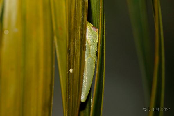 Graceful Tree Frog