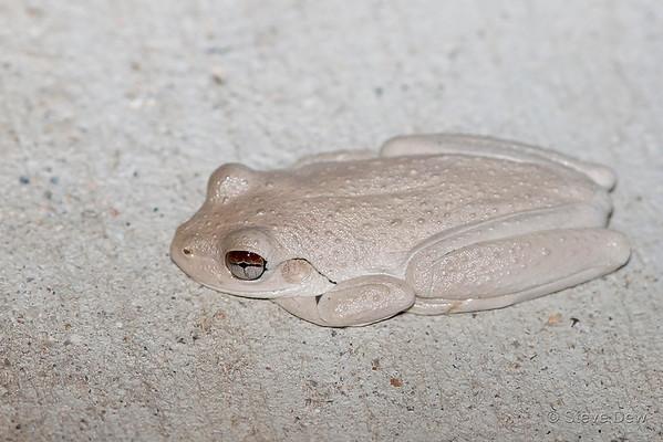 Roth's Tree Frog