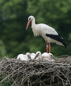 White Stork / Ooievaar / Ciconia ciconia