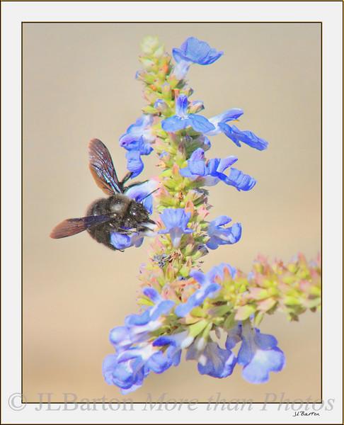 Bumblebee on Sage Apis mellifera mellifera nigra (black bee)