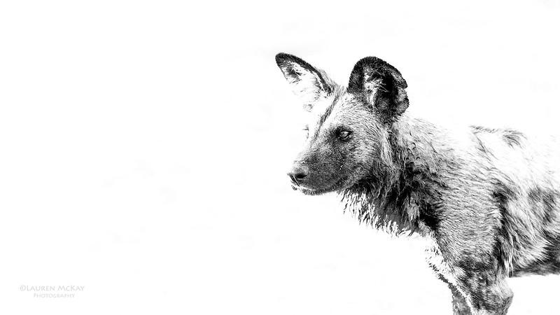 African Wild Dog, b&w, Savuti, Chobe NP, Botwana, May 2017-9.jpg