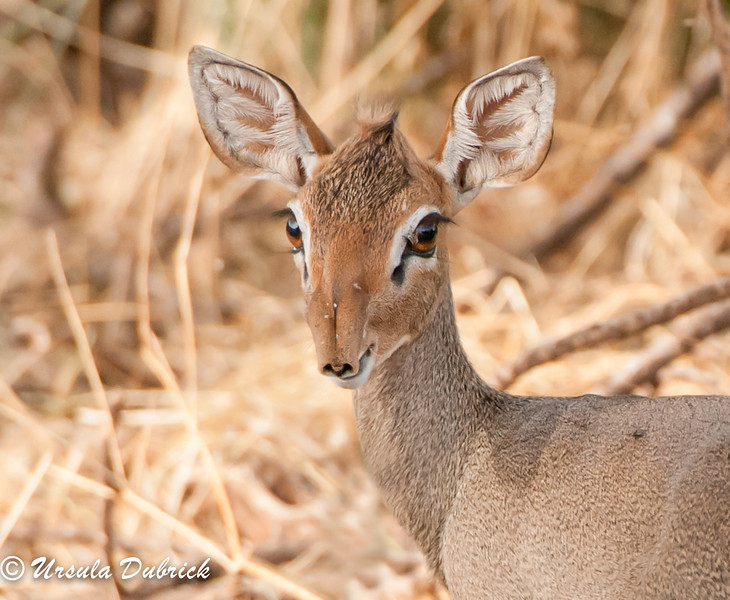 Dik-dik - A small antelope