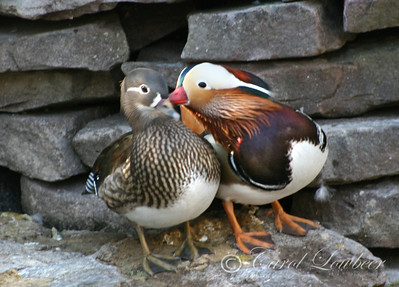 Mandarin Mating