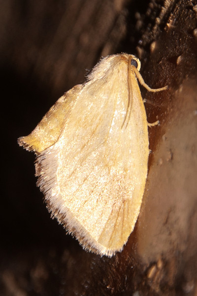 Warm-chevroned Moth - (Tortricidia testacea) - Dunning Lake - Itasca County, MN