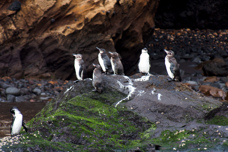Galapagos Penguins on A Rock : Journey into Genovesa Island in the Galapagos Archipelago