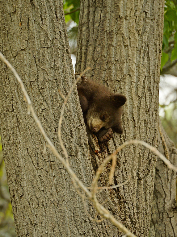 . A cub along with its mother and another cub rest in a tree in the Wonderland Lake neighborhood in Boulder, May 21, 2014. Officials are hoping the bears with move west soon back into the mountain and away from people. (Photo by RJ Sangosti/The Denver Post)