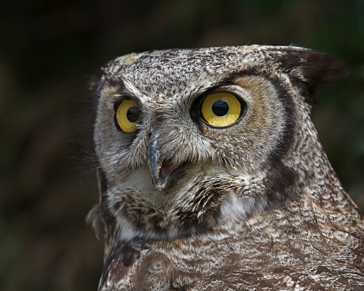 Great-hroned Owl