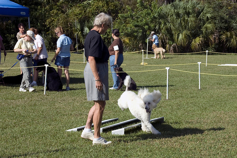 This Standard Poodle completes the Broad Jump in the Open class in obedience.