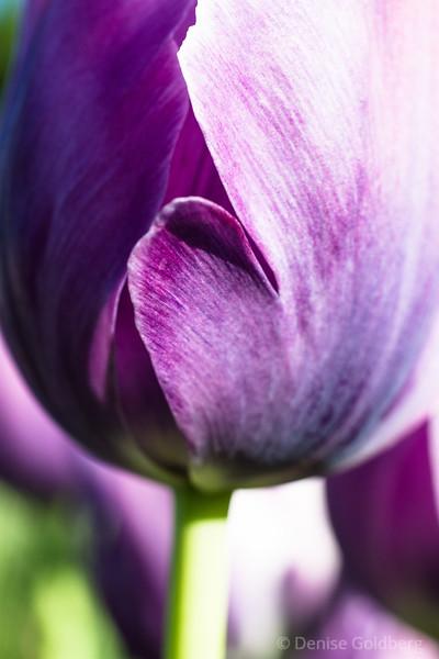 petals in purple