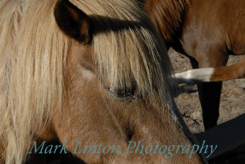 Close up of one of the famous Chincoteague Ponies.  To help manage the number of ponies roaming the island each summer some of the ponies are rounded up and sold at auction for the benefit of the Chincoteague Island Fire Department
