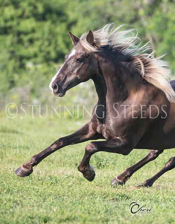 Madison Avenue - Rocky Mountain Horse