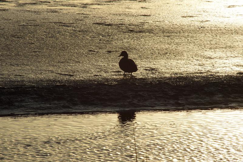 cold duck.jpg
