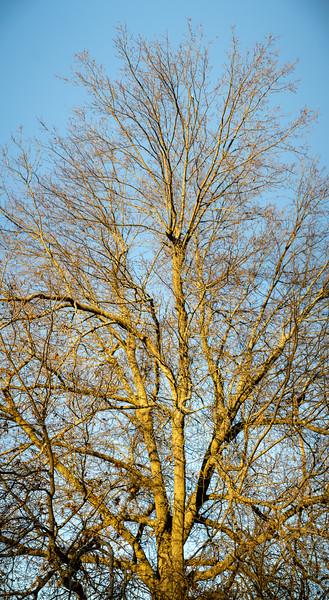 Pin oak in winter