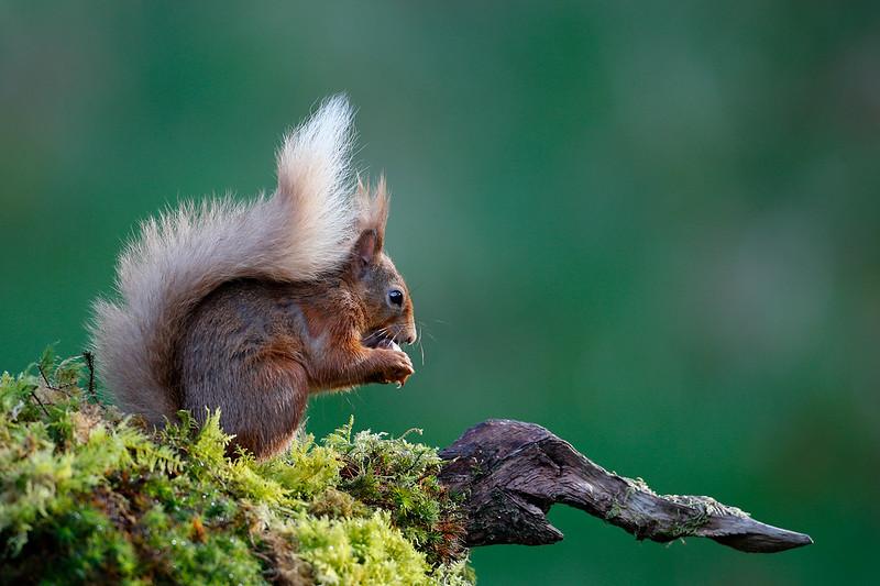 Red Squirrel 1704245088.jpg