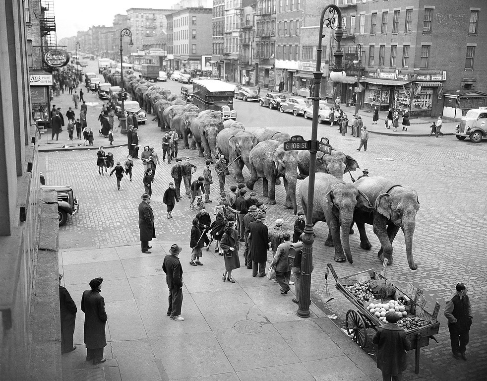 . Elephants from the Ringling Brothers and Barnum and Bailey Circus plod along Second Avenue at 106th Street in New York, April 2, 1948, after arriving by train for their annual appearance at Madison Square Garden. New York youngsters and some oldsters watch the pachyderms but the two lead elephants appear more than a little interested in the fruit stand in right foreground. (AP Photo/Harry Harris)