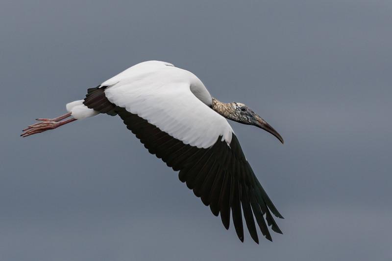 Wood Stork 7D2_8121.jpg