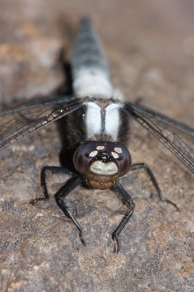 """Chalk-fronted Corporals (Ladona julia) are named for their white """"corporal"""" stripes on top of the thorax [July 6; Brule River, Gunflint Trail, Superior National Forest, Cook County, MInnesota]"""