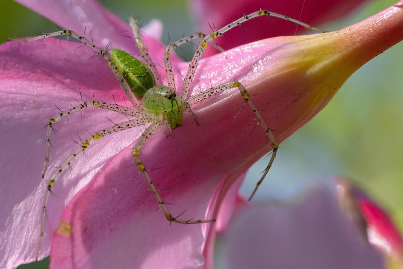 Lynx-Spider-on-pink-oleander.jpg