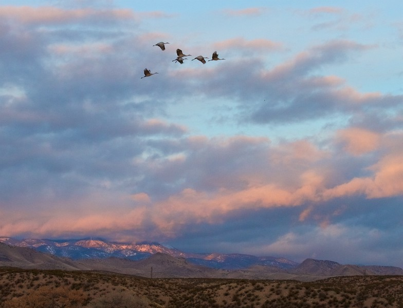 Sandhill Crane Bosque del Apache NWR Socorro NM IMG_0007330.CR2.jpg