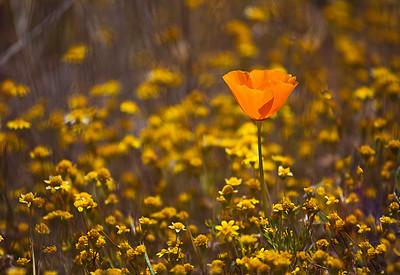 Antelope Valley Poppy Reserve, California, April 16, 2011