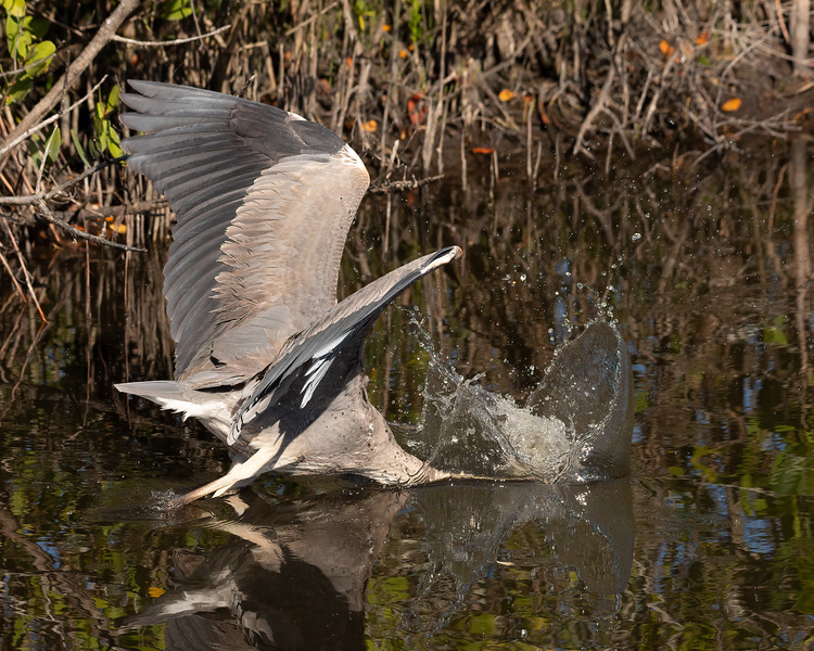 Great Blue Heron hoping to find lunch!