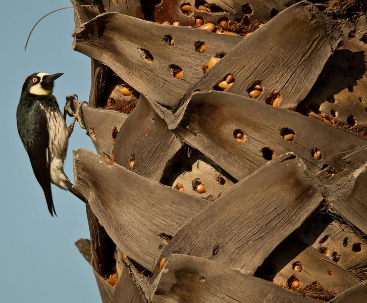Acorn Woodpecker Lake Hodges Escondito 2012 02 17 (2 of 7).CR2