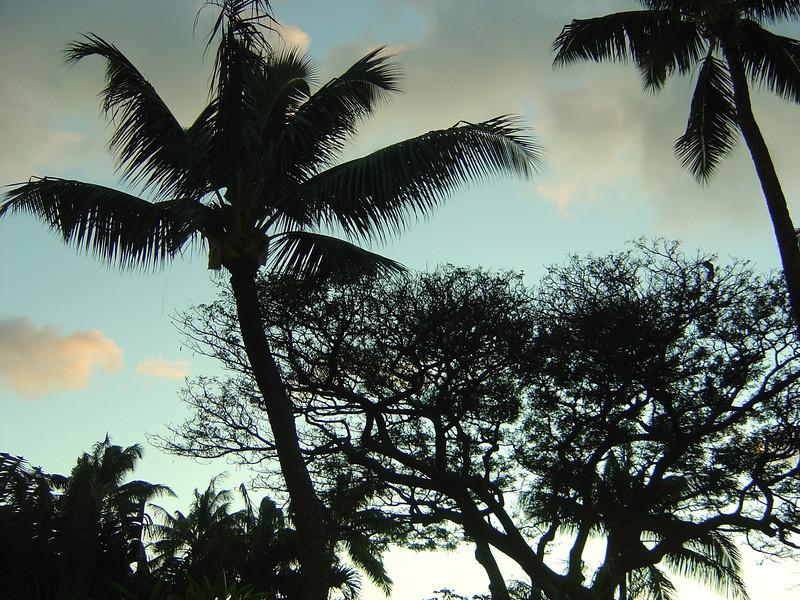 bonzai palm dusk.JPG
