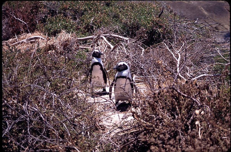 African Penguins near the Cape of Good Hope