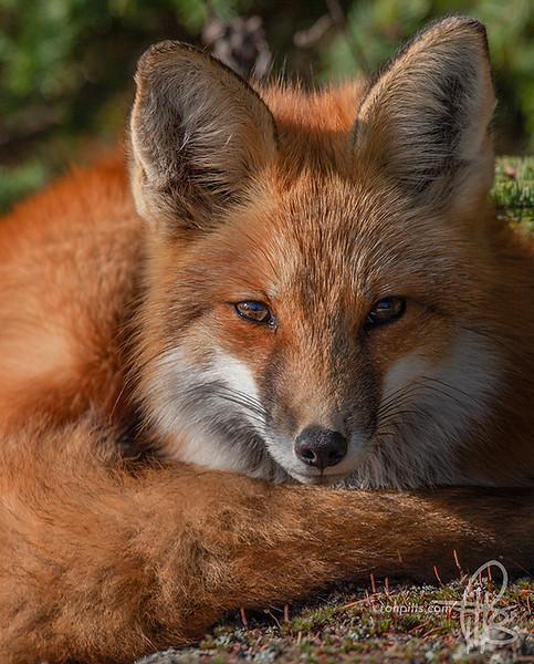 sm fox stare_MG_1740.jpg