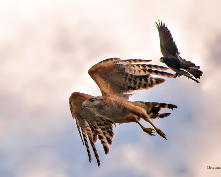 Hawkgoodbytopaz.jpg