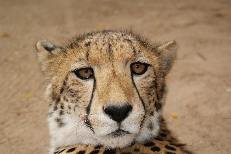 Cheetah at the Outsdoorn zoo.