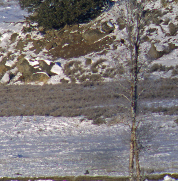 agate creek wolf and bald eagle (in tree)