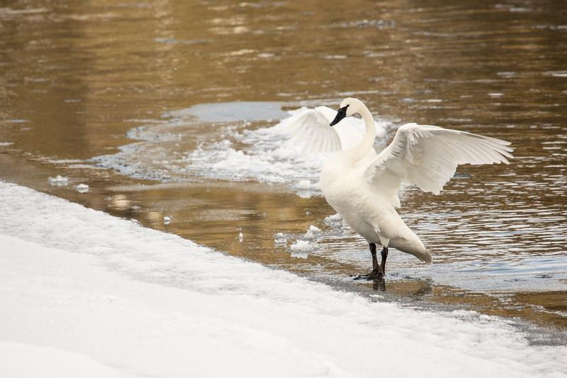 387A9773Trumpeter Swan preening close.jpg