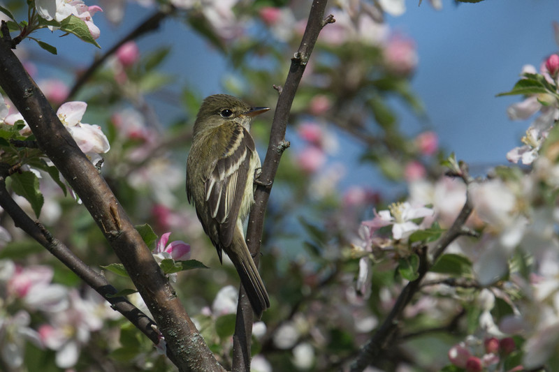 Eastern Wood-Pewee in blooming apple tree • Sterling Nature Center, Sterling NY • 2019