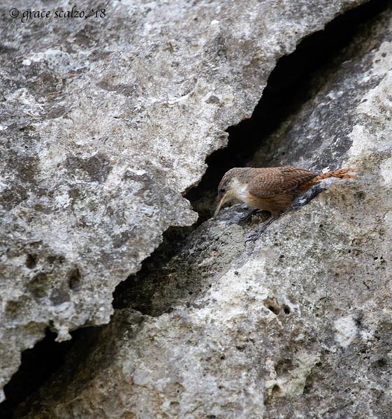 Canyon Wren foraging