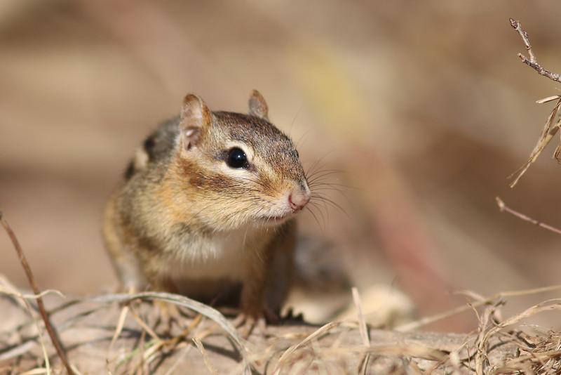 A chipmunk. At the Elizabeth A Morton National Wildlife Refuge.