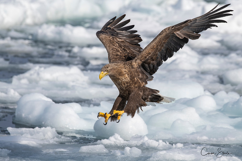 White-tailed eagle (Haliaeetus albicilla) fishing over the sea ice off the coast of Hokkaido