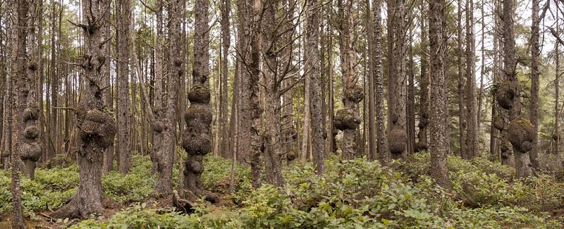 Burled woods